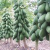 Conoce más de la Papaya Maradol